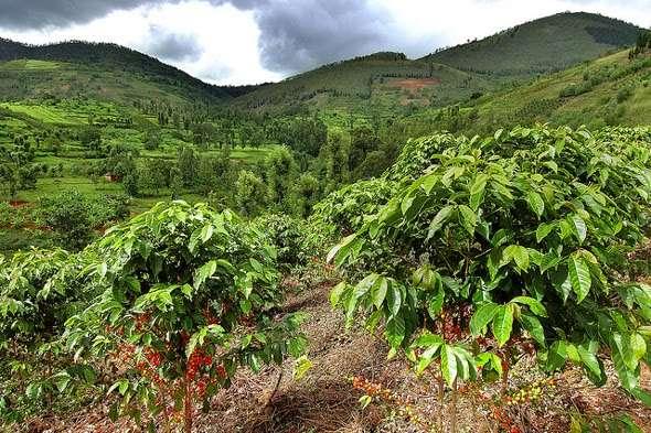 COffie-Farm-Gre